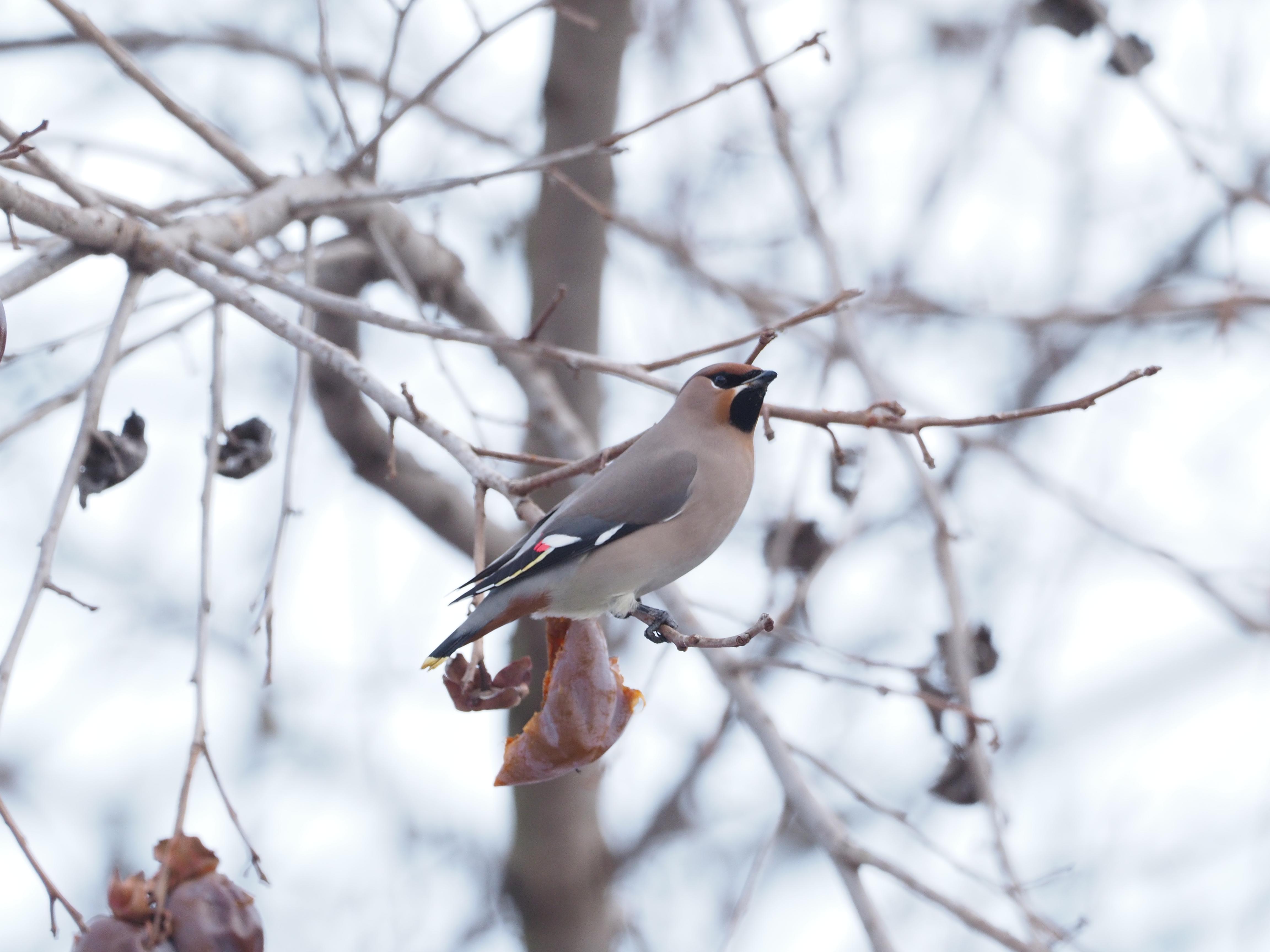 Pestvogel Georgië (foto A. Bunskoeke)