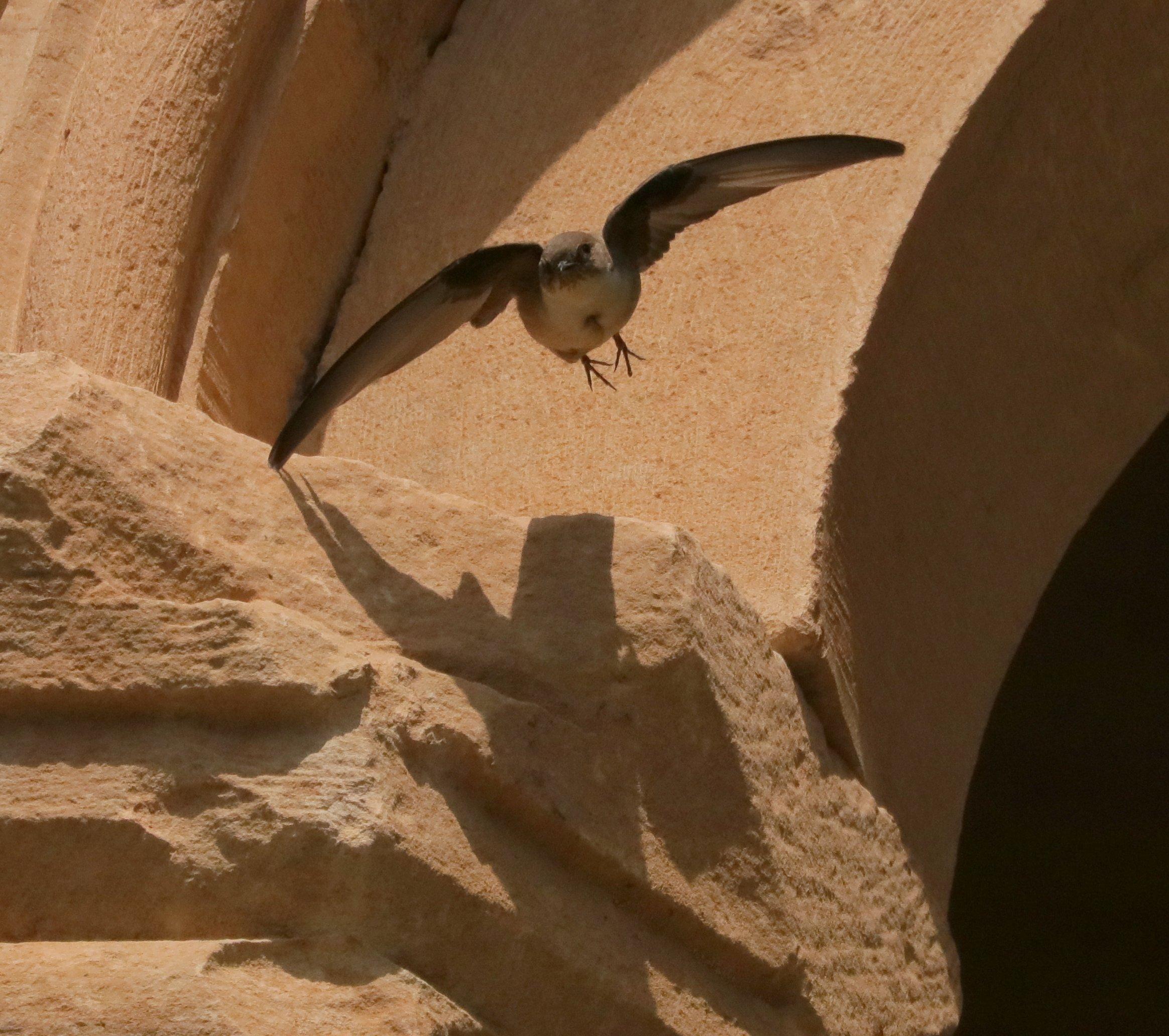 Rotszwaluw Armenië (foto J.A. Hellings)