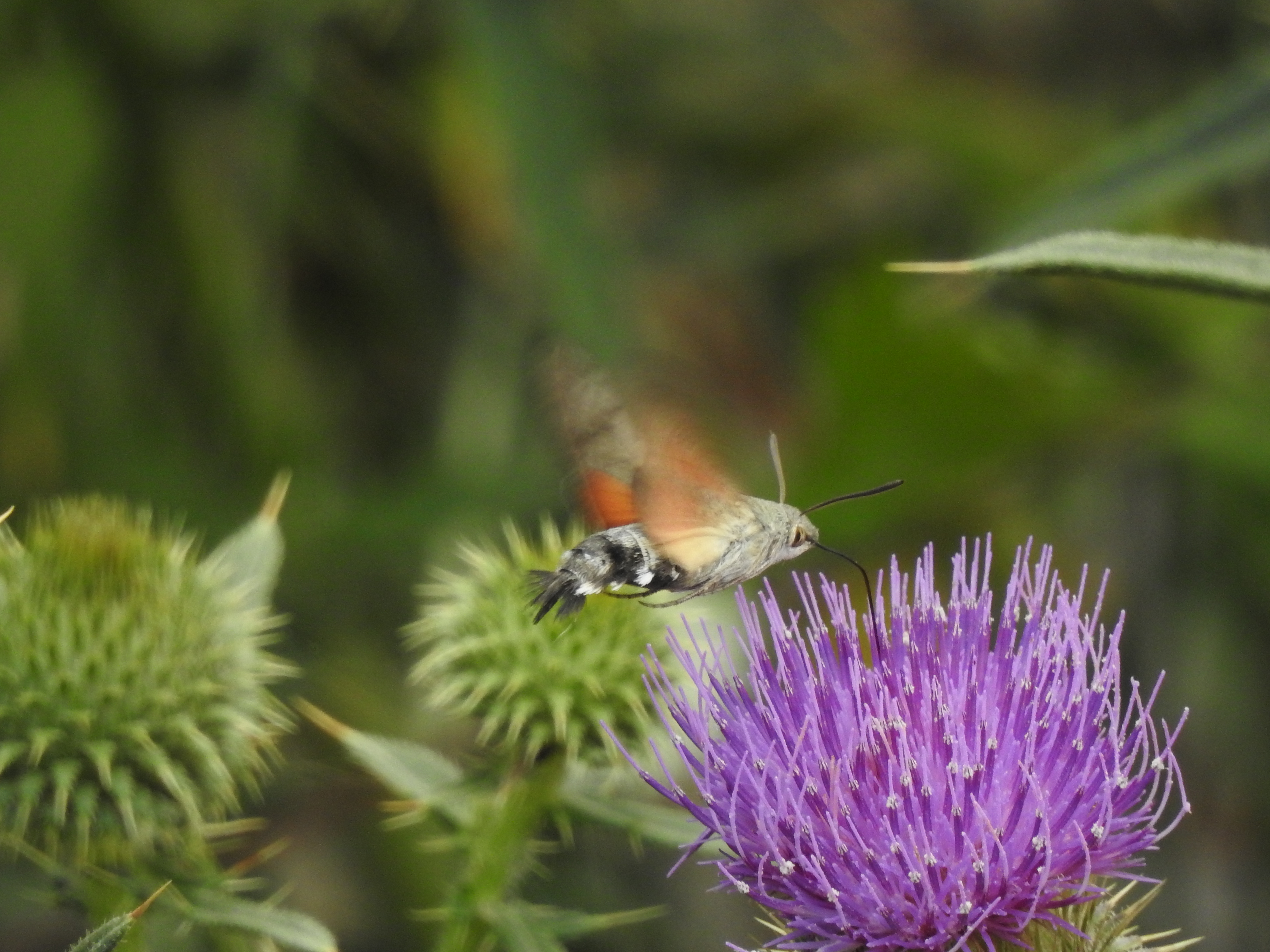 Kolibrievlinder Armenië (foto C. Snik)