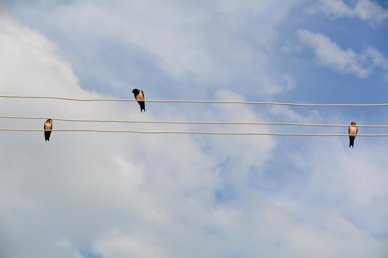 Huiszwaluwen, Armenië  (foto B. Wouda)