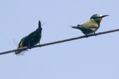 Groene Bijeneters Armenië (foto J.A. Hellings)