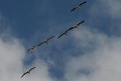 Roze Pelikanen en Kroeskoppelikanen